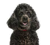 Close-up of a Poodle Stock Photography