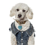 Close-up of a poodle with a jeans jacket, isolated Royalty Free Stock Photography