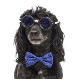 Close-up of a Poodle wearing glasses and a bow tie Royalty Free Stock Photos