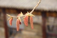 Poplar flower Royalty Free Stock Image