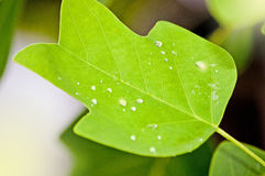 Close up of Poplar Leaf Stock Image