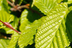 Close-up of poplar leaves Stock Image
