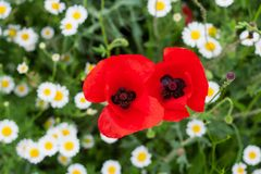 Close up of poppies Royalty Free Stock Image