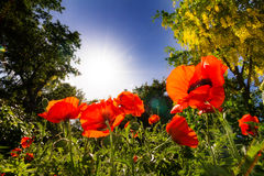 Close up poppies Stock Images