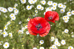 Close up of poppies and daisies Royalty Free Stock Images