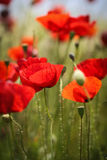 Close up with poppies in daylight Stock Photos