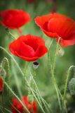 Close up with poppies in green background Royalty Free Stock Photography