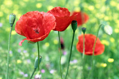 Close up of poppies Stock Photos