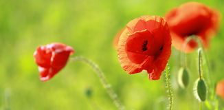 Close up of poppies Stock Image