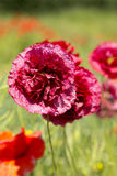 Close up of poppies Stock Photography