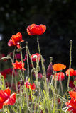 Close up of poppies in the sun Stock Photo
