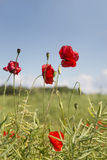 Close up of poppies in the sun Stock Photos