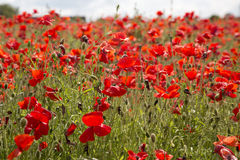 Close up of poppies in the sun Stock Image