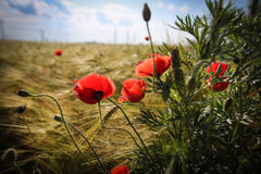 Close up with poppies in wheat field. Poppies in wheat field in the summer royalty free stock photos