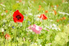 Close up of poppies and wild flowers in a field. Close up of poppies and wild flowers in a meadow Royalty Free Stock Photography