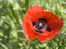 Close up of a poppy Royalty Free Stock Photo