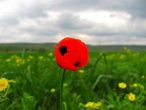Close up poppy against cloudy sky and flower field. Lonely poppy in the field against cloudy weather Stock Photography