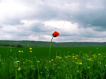 Close up poppy against cloudy sky. Lonely poppy in the field against cloudy weather Royalty Free Stock Photography