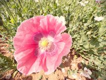 Close-up of poppy blossom moving in gentle wind, green poppy heads in large field. In background. Beautiful poppy freshness stock image