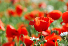 A close-up of a poppy field. Stock Image