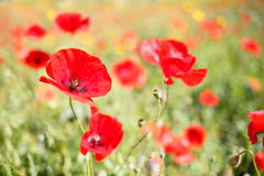 Close up of a poppy in a field of poppie-shallow DOF Royalty Free Stock Photos