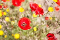 Close up of a poppy in a field of poppie-shallow DOF Royalty Free Stock Images