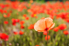 close up of a poppy in a field of poppie-shallow DOF Stock Photo