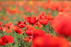 Close up of a poppy in a field of poppies-shallow DOF Stock Image