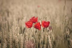 Poppies and whea Stock Photography
