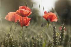 Poppies and whea Stock Image