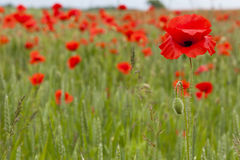 Close up Poppy field Royalty Free Stock Images