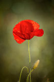Close up of poppy flower Stock Photography