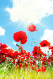 Close-up of poppy flowers Stock Image