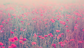 Close up of poppy flowers. Soft focus of poppy field. Pastel ton. Ed image stock photo