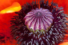 Close up of a poppy seed flower Royalty Free Stock Photos