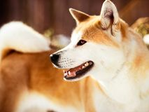Close-up portait of smiling Japanese Akita inu dog in winter. Close-up portait of adult smiling great Japanese Akita inu dog in winter forest background royalty free stock images