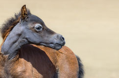 Close up portrain of American miniature bay foal. Foal is one month of birth Stock Image