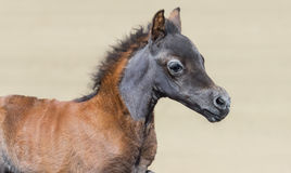 Close up portrain in motion of American miniature bay foal. Royalty Free Stock Photography