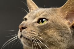 Abyssinian cat face Royalty Free Stock Photos
