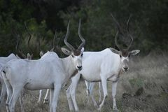 Addax Herd Portrait stock photos
