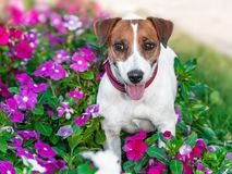 Close-up portrait of adorable happy smiling small white and brown dog jack russel terrier standing in flowering petunia flower bed royalty free stock photos