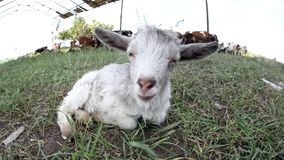 Portrait of adorable little goat enjoying sunny summer day stock footage