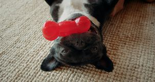 Cute playful french bulldog in living room. Close up portrait of adorable pure bred french bulldog lay down on carpet floor on back. Chewing and holding red pet stock video