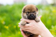 Close-up Portrait of adorable two weeks old shiba inu puppy in the hands of the owner in the buttercup meadow. Close-up Portrait of cute red two weeks old puppy royalty free stock photos