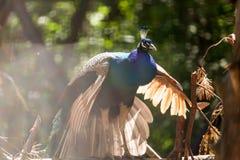 Adult beautiful peacock stock photos
