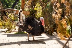 Adult black turkey. Close-up portrait of an adult black turkey with a red beak that walks along trees on a warm summer day royalty free stock photos