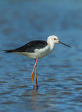 Close up portrait of adult Black-winged Stilt Stock Image