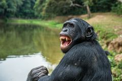 Close up Portrait of adult Bonobo with open mouth. Stock Photo