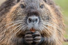 Close-up portrait of adult coypu chewing carrot stock image
