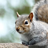 A close-up portrait of an adult Grey Squirrel (Sciurus carolinensis). Stock Photo